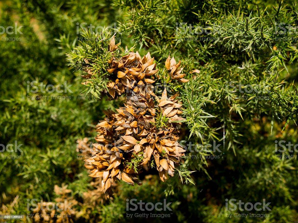 Common Gorse seeds stock photo