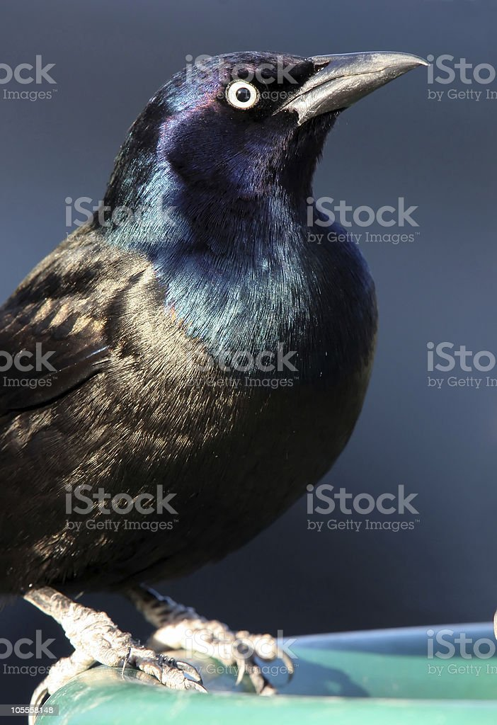 Common Grackle Closeup royalty-free stock photo