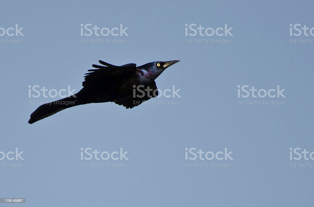 Common Grackle in Flight stock photo