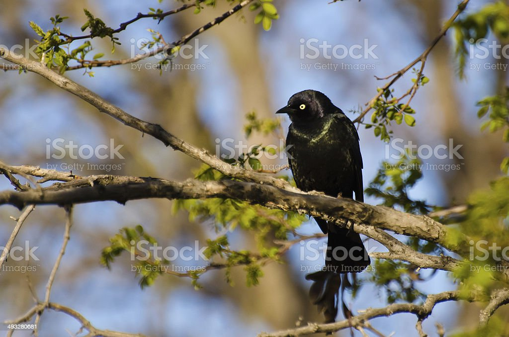 Common Grackle Perched on a Branch in Spring stock photo