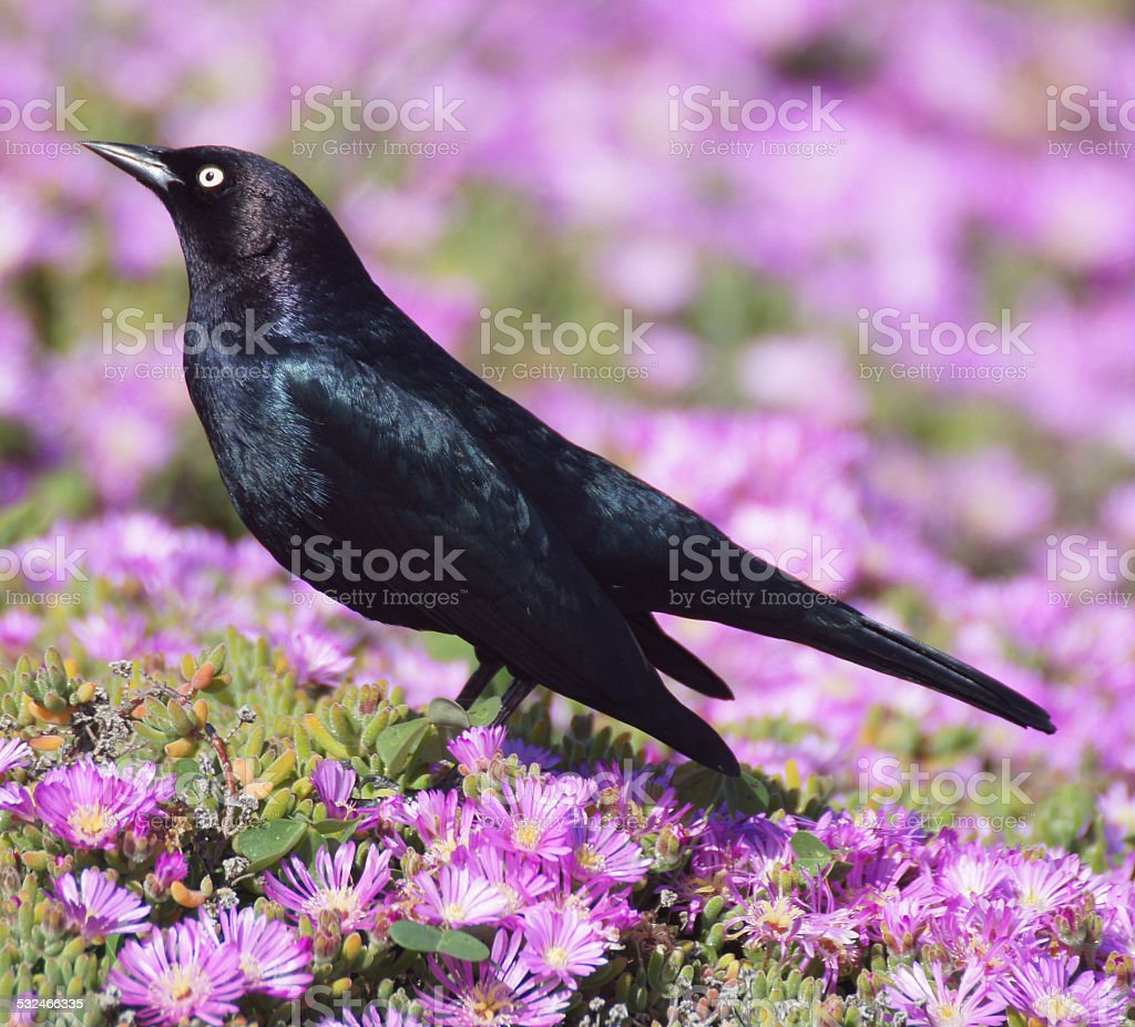 Common Grackle, Quiscalus quiscula, in pink daisies stock photo