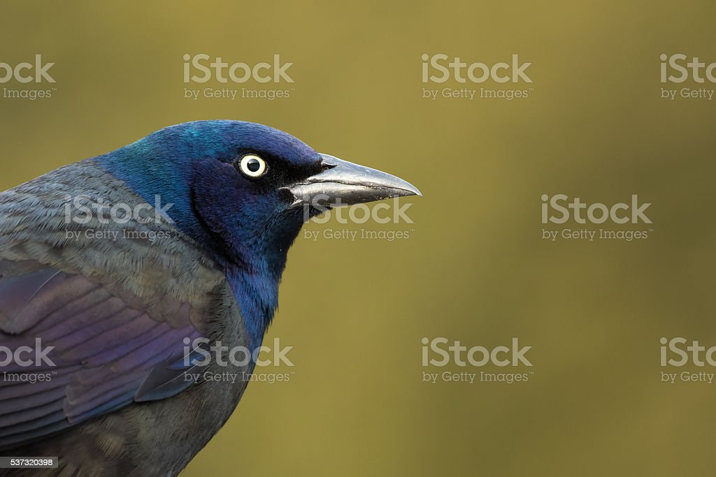 Common Grackle - Quiscalus quiscula stock photo