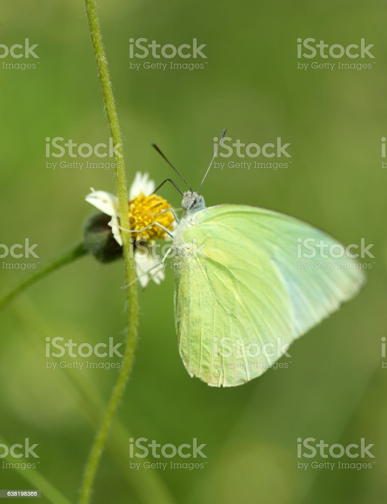 Common Grass Yellow butterfly (Eurema hecabe contubrenalis (Moor stock photo