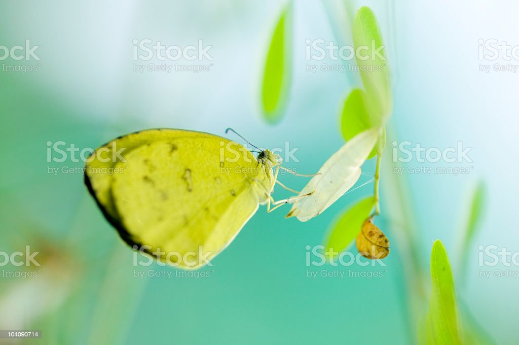 Common Grass Yellow Butterfly (Eurema hecabe) royalty-free stock photo