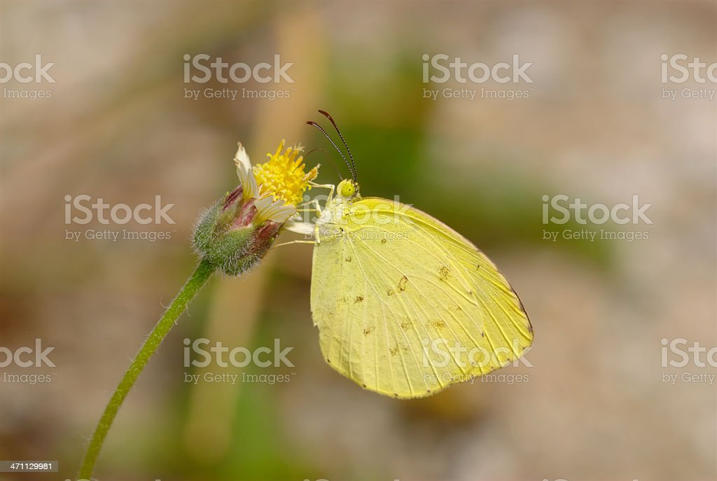 Common Grass Yellow (Eurema hecabe)  in Singapore stock photo