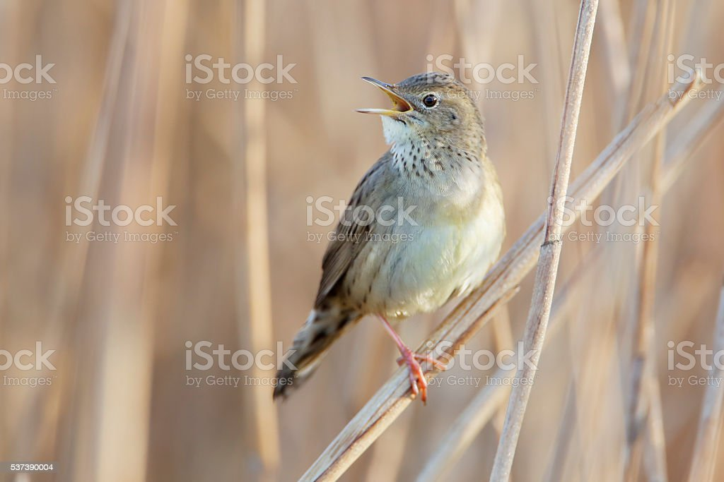 Common grasshopper warbler (Locustella naevia) singing in reed, Netherlands stock photo