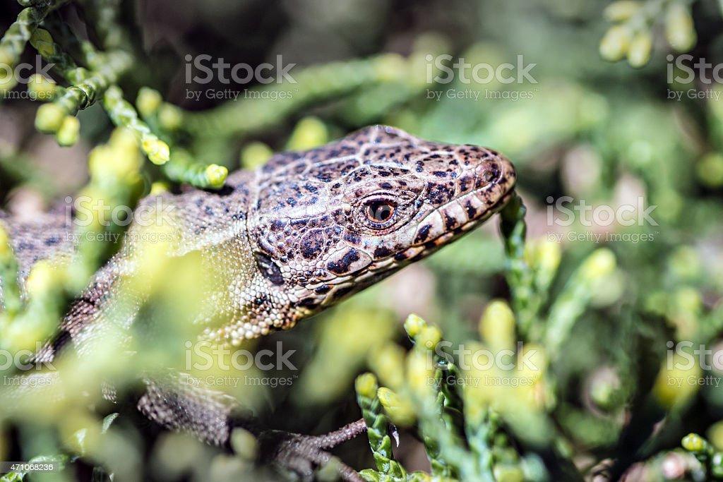 Common gray viviparous Lizard animal head hiding in branches stock photo