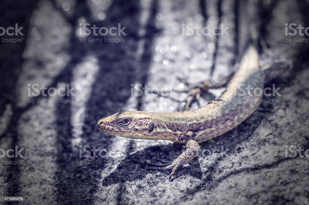 Common gray viviparous Lizard animal on rock under sunlight stock photo