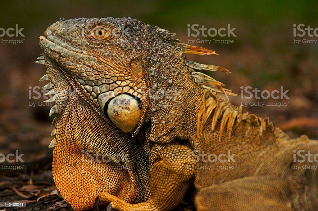 Common Green Iguana royalty-free stock photo