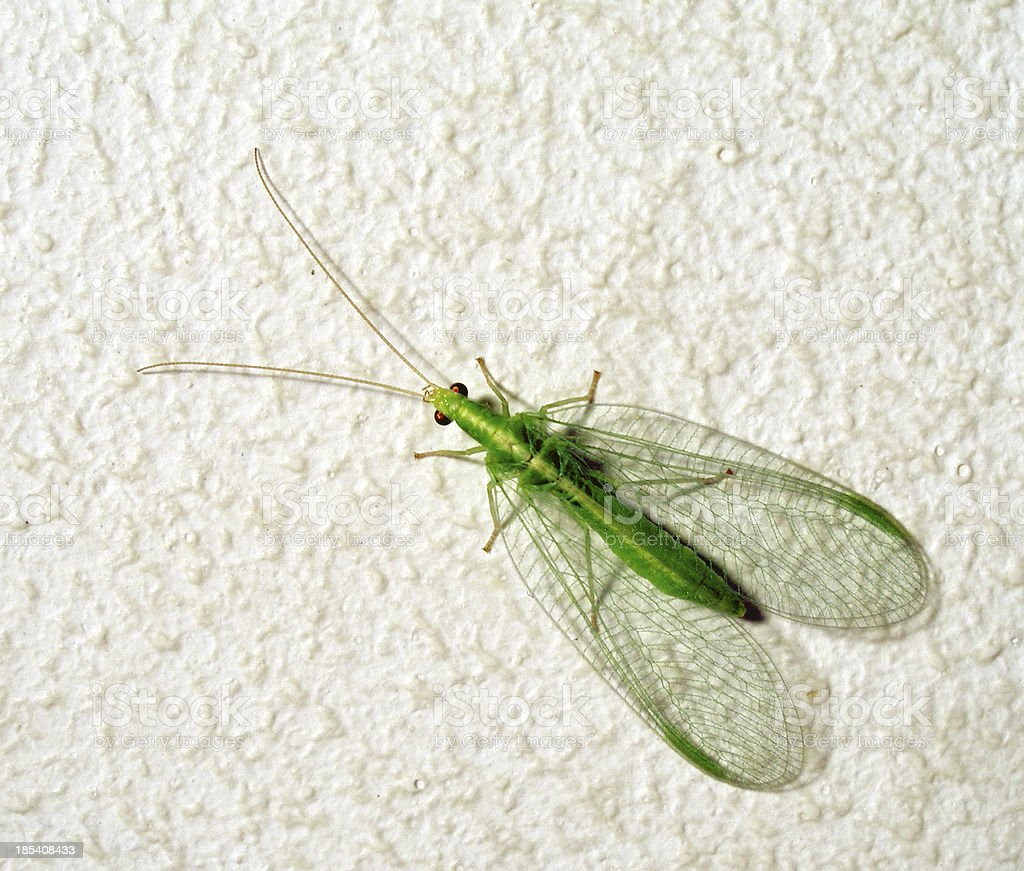 common green lacewing royalty-free stock photo