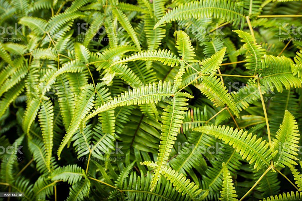 Common Green Old World Forked Fern Plant Growing in Hawaii stock photo