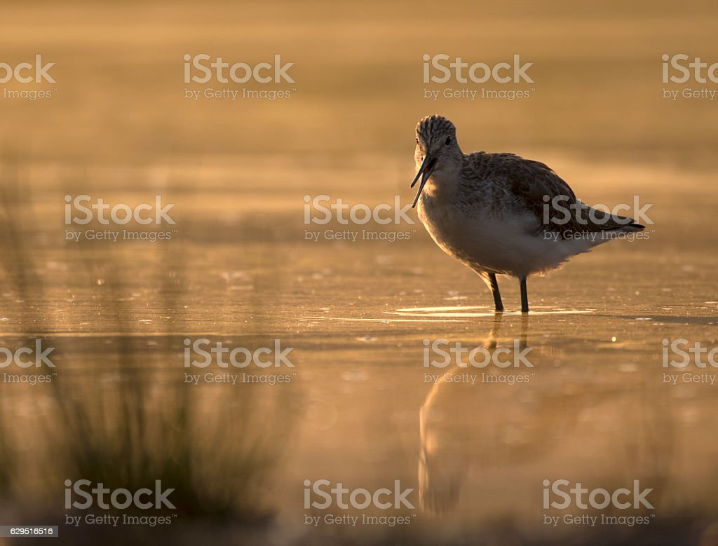 Common Green Shank in lake at sunrise stock photo