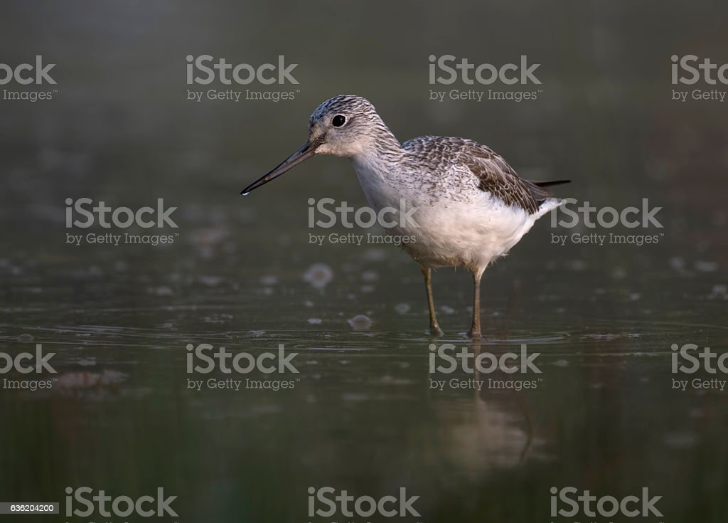 Common Green Shank in lake stock photo