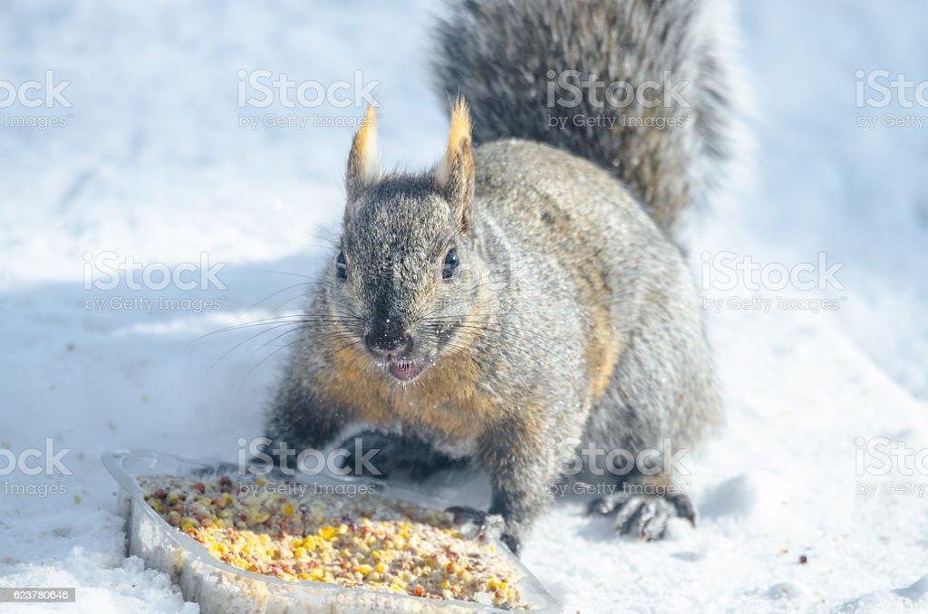Common grey squirrel - healthy specimen having a snack. stock photo