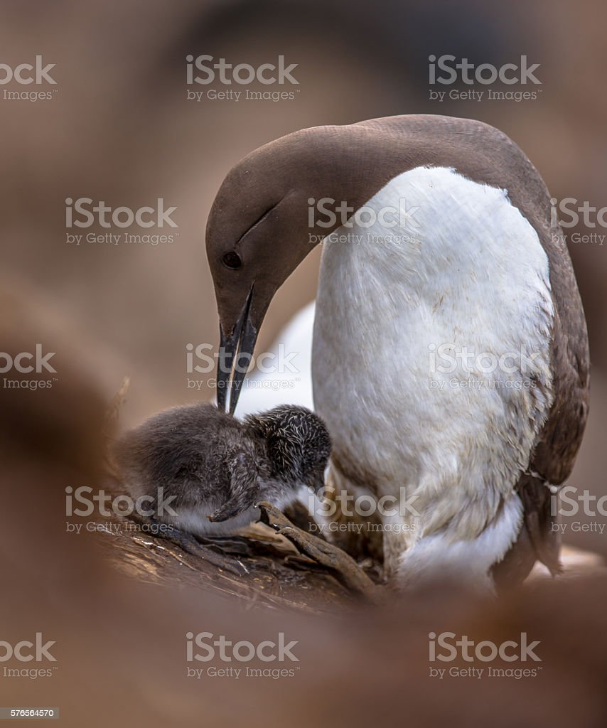 Common guillemot with chick stock photo