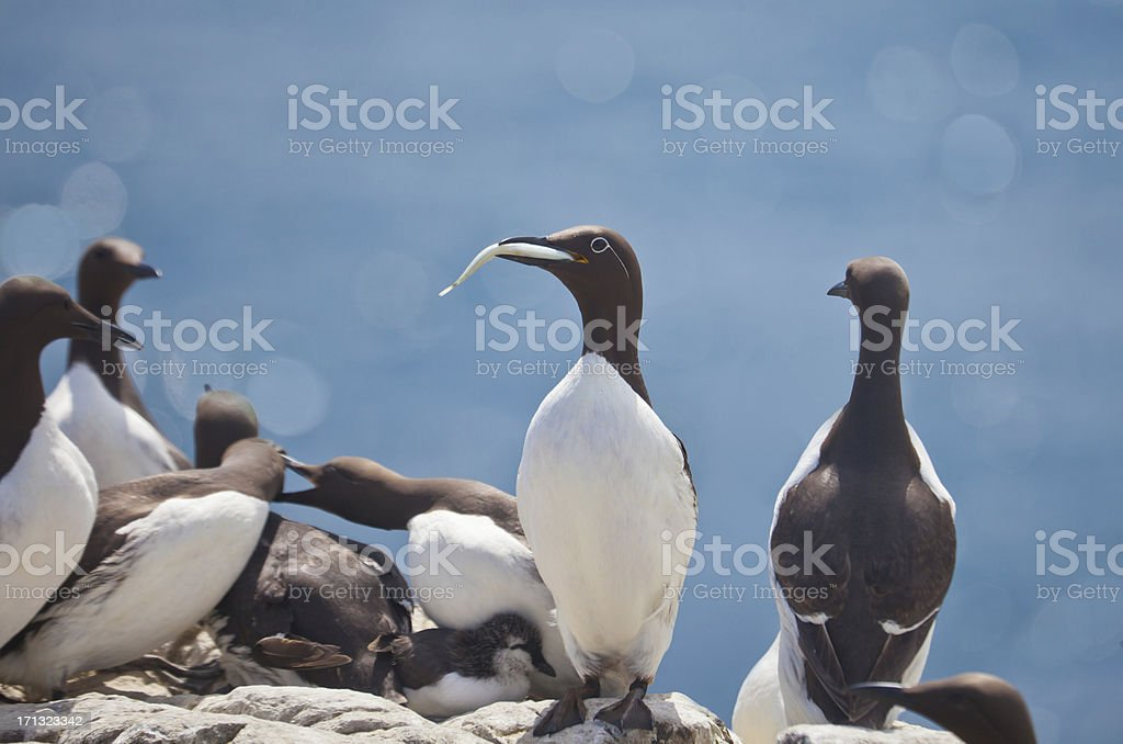 Common Guillemots / Murres in colony stock photo