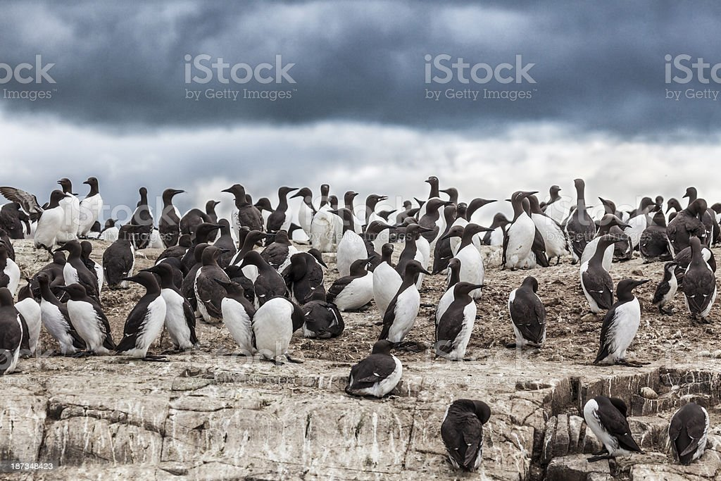 Common Guillemots / Murres on a cliff stock photo