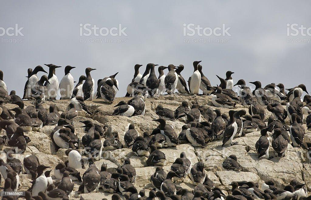 Common Guillemots stock photo