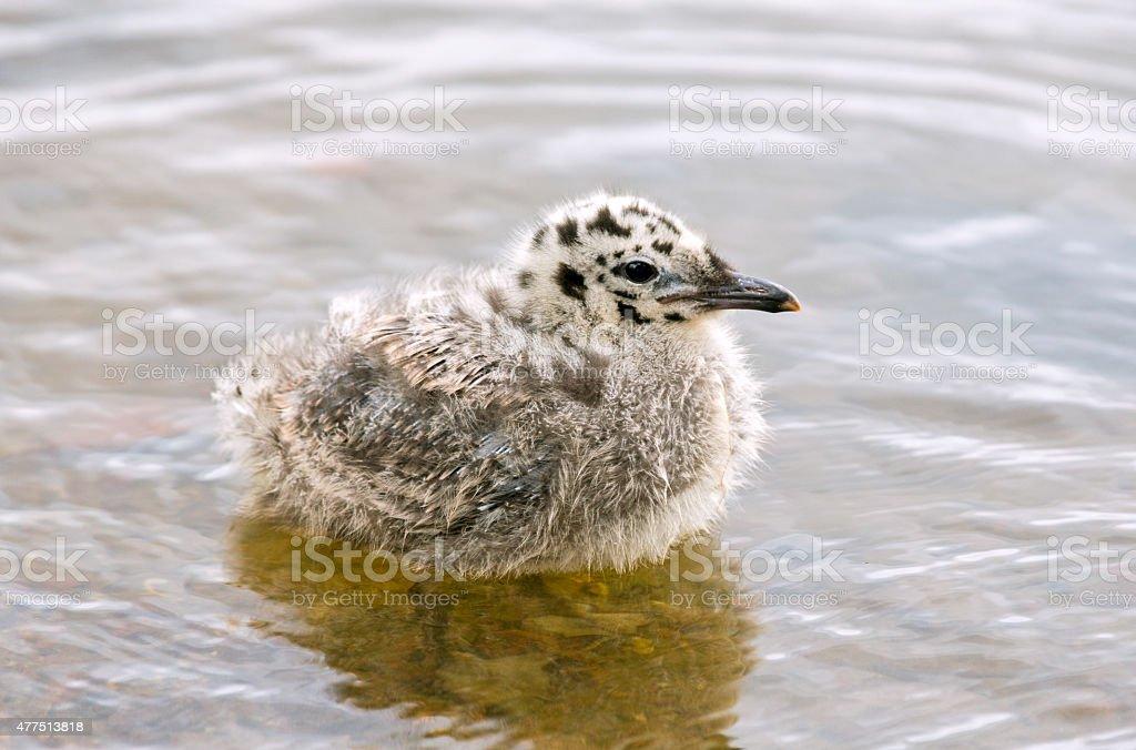 common gull chick stock photo