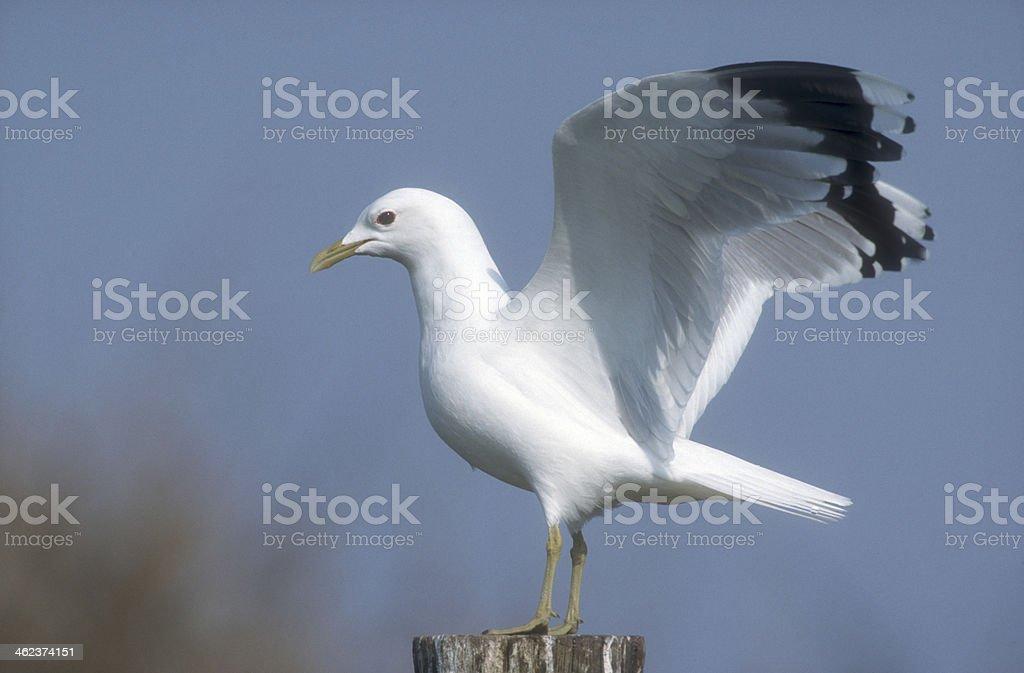 Common gull, Larus canus stock photo