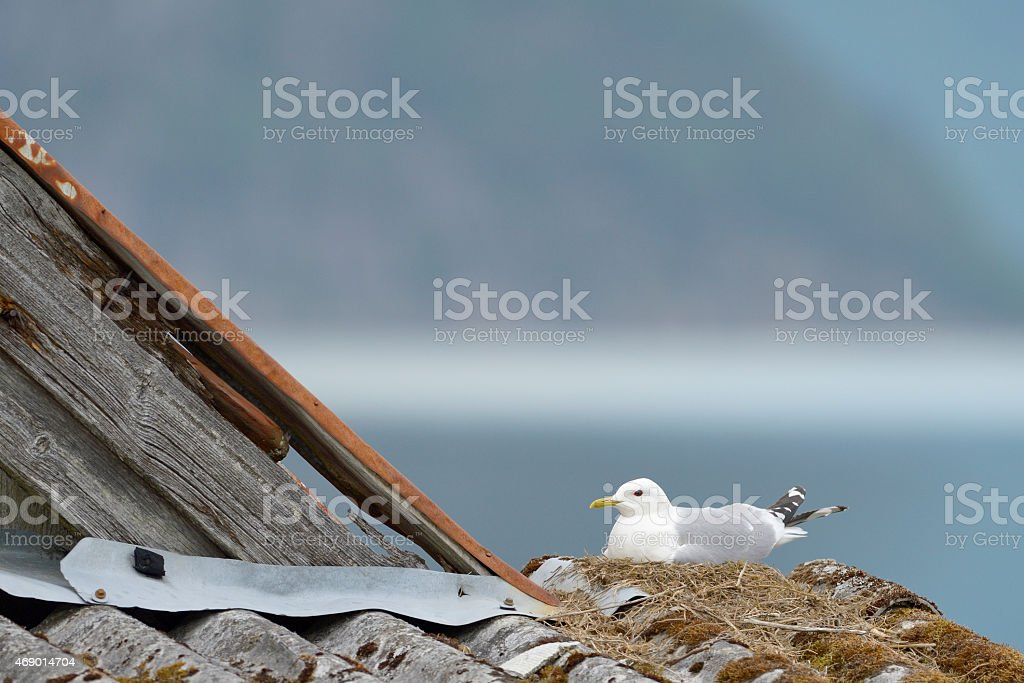 Common Gull (Larus canus) nesting on a roof stock photo
