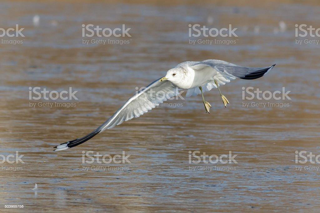 Common Gull (Larus canus) stock photo