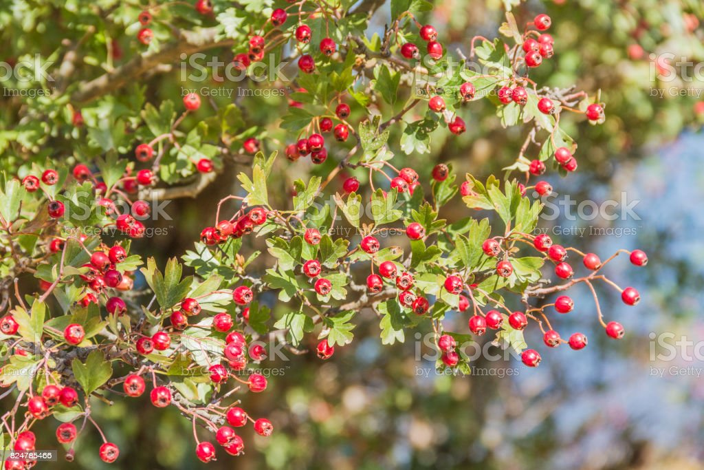 Common hawthorn, mayblossom or quickthorn stock photo