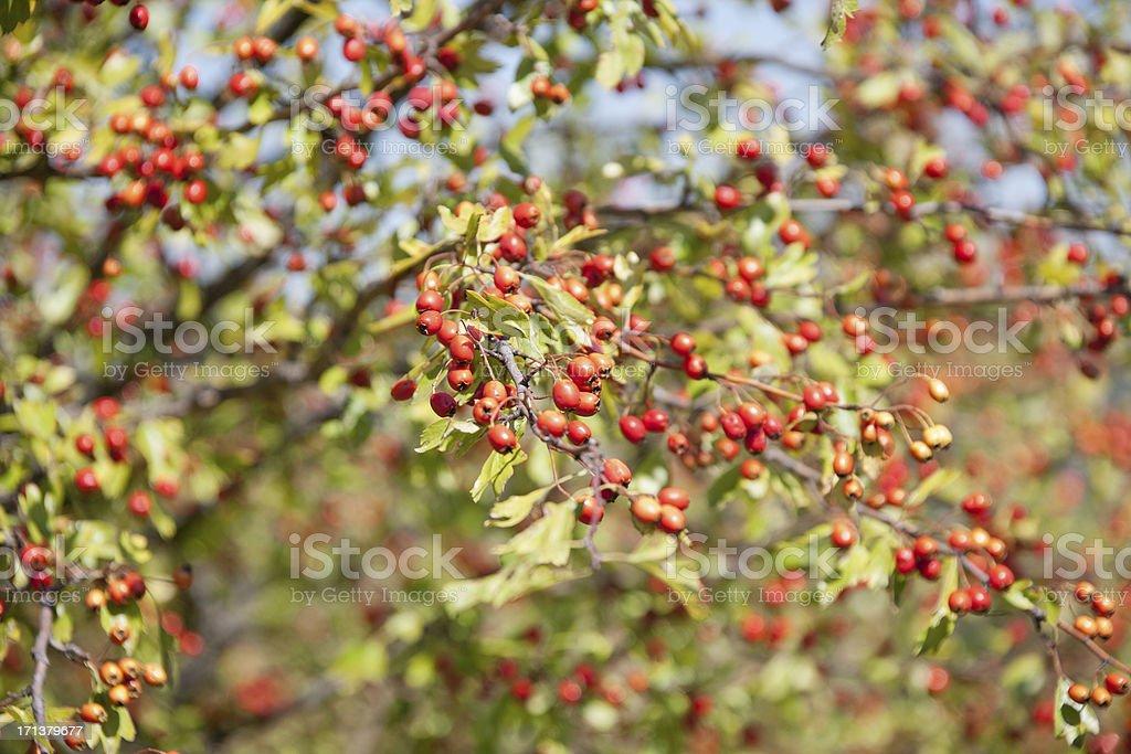 Common Hawthorn royalty-free stock photo