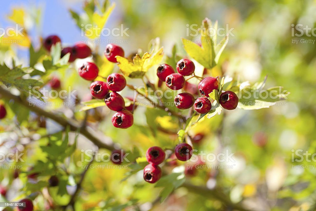 Common Hawthorn royalty-free stock photo