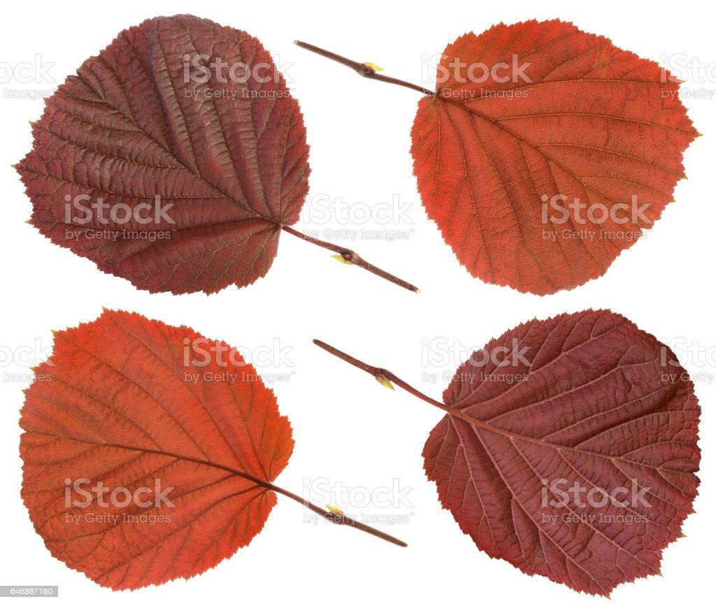 Common Hazel leaf isolated on white stock photo