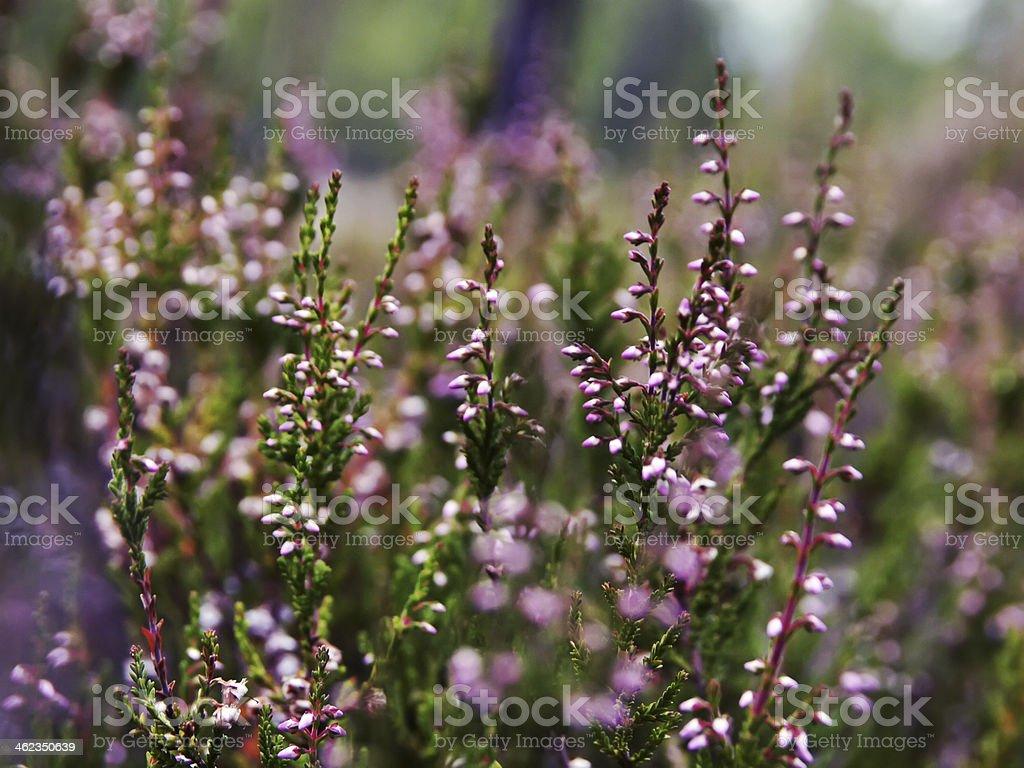 Common heather close-up stock photo