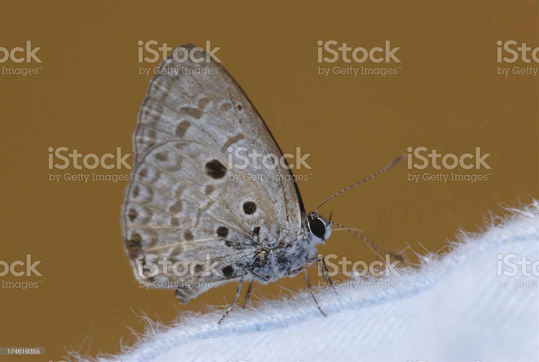 Common Hedge Blue (Acytolepis puspa)  in Malaysia royalty-free stock photo