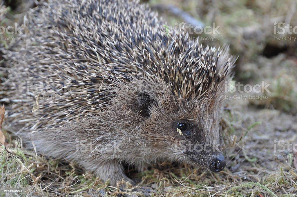 Common hedgehog in Danish garden stock photo