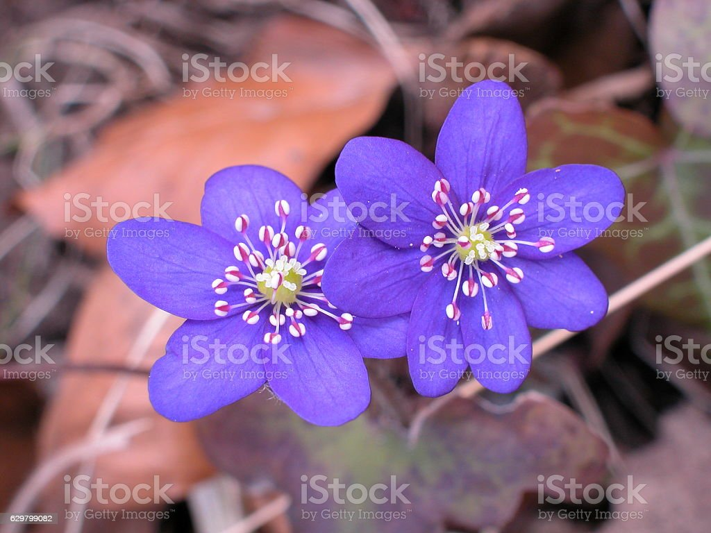 common hepatica in early spring stock photo