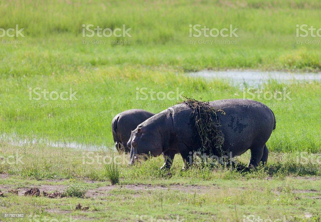 Common Hippo carrying vegetation, with calf. Chobe_N.P., Botswana stock photo