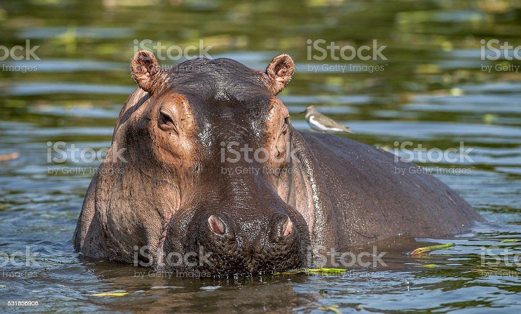 Common hippopotamus in the water. stock photo