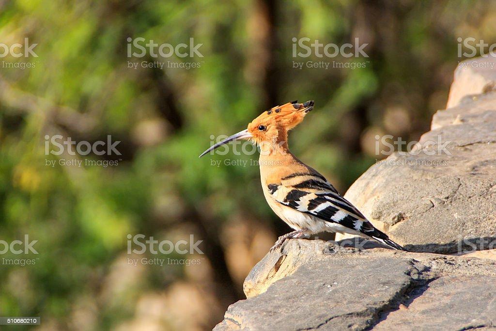 Common Hoopoe (Upupa epops) sitting on a stone wall. stock photo