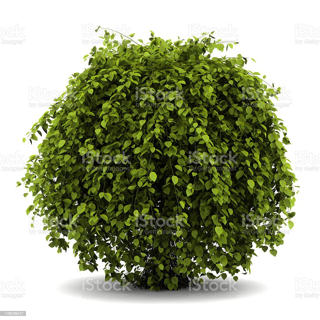 common hornbeam bush isolated on white background stock photo