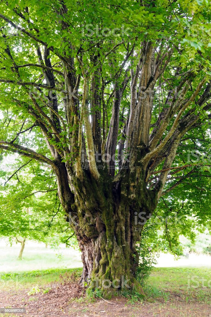 Common hornbeam (Carpinus betulus) stock photo