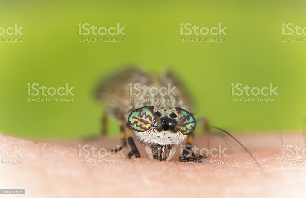 Common horsefly, haematopota pluvialis sucking blood stock photo
