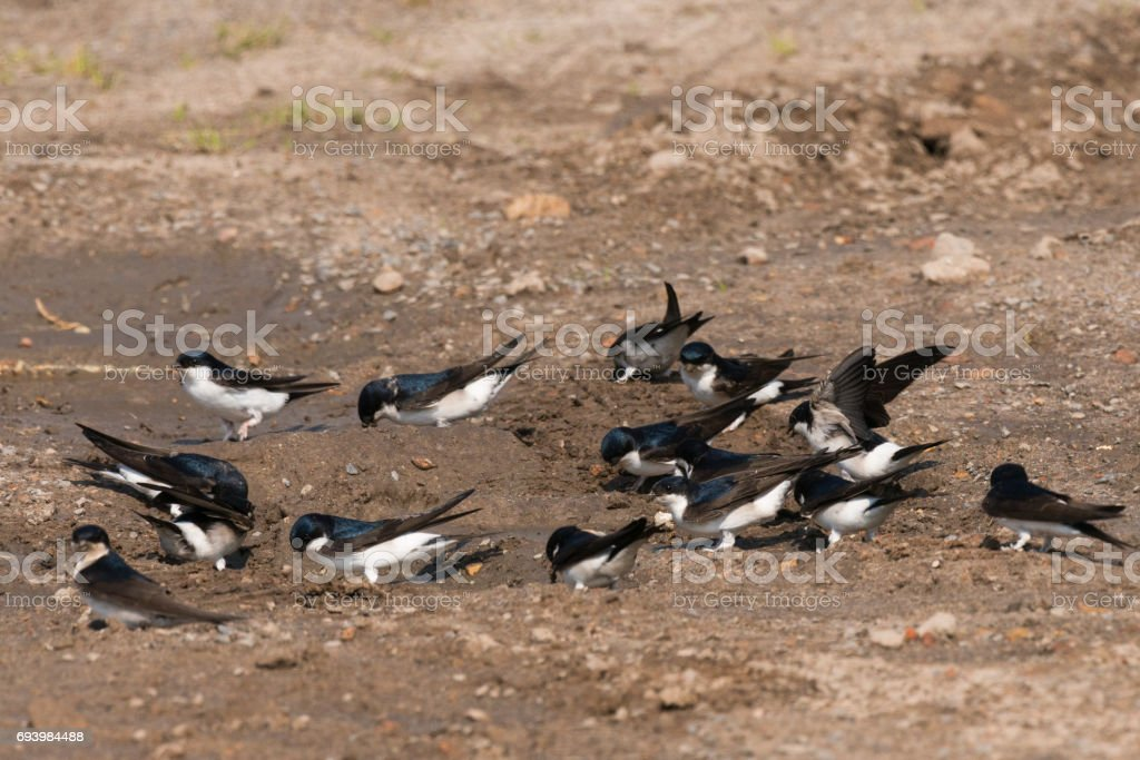 Common house martin in nest building stock photo