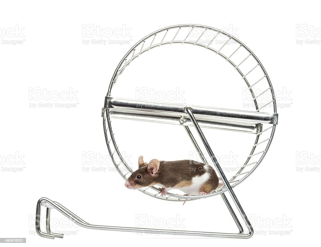Common house mouse running in a wheel stock photo