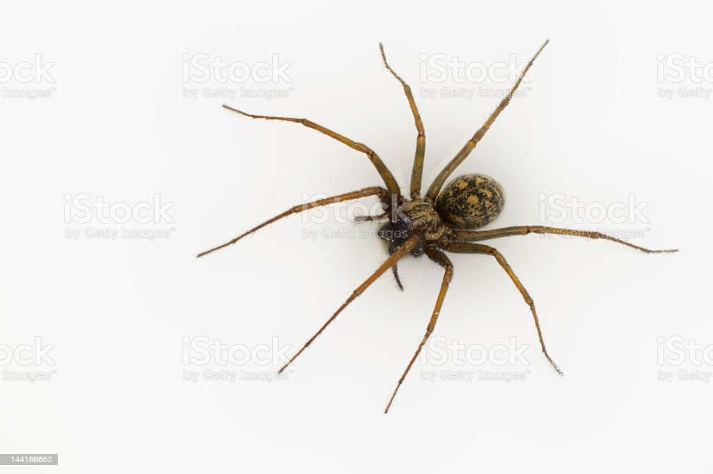 Common House Spider royalty-free stock photo