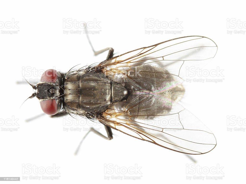 Common housefly royalty-free stock photo