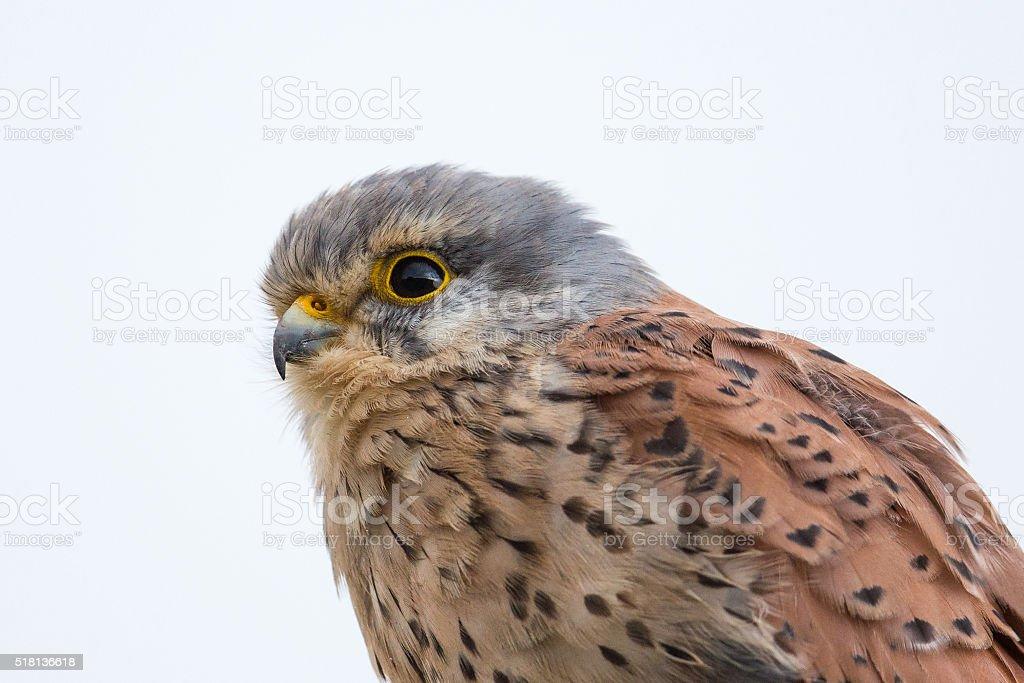 Common Kestrel close up stock photo