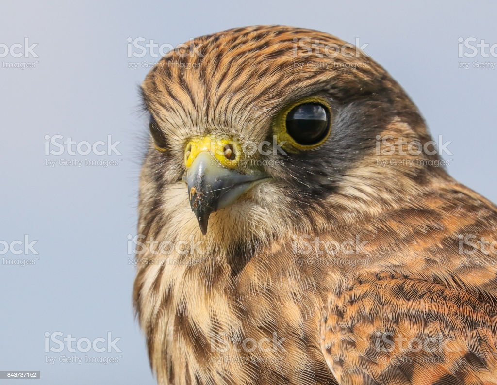 Common Kestrel close-up (female) stock photo