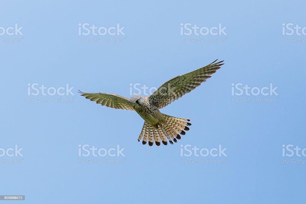 Common kestrel (Falco tinnunculus) during stationary flight stock photo
