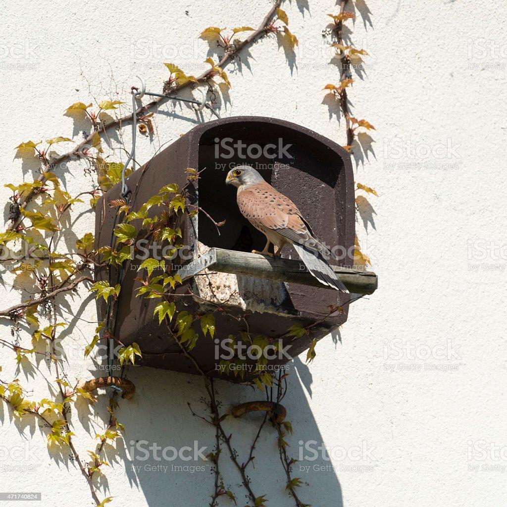 Common kestrel [Falco tinnunculus] stock photo