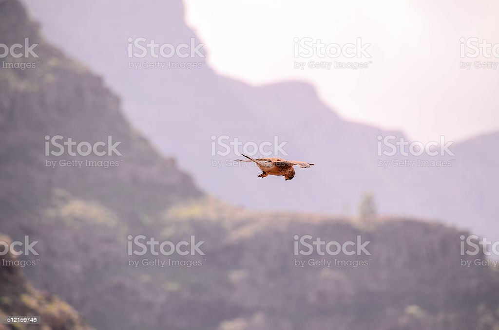 Common Kestrel Hawk Bird stock photo