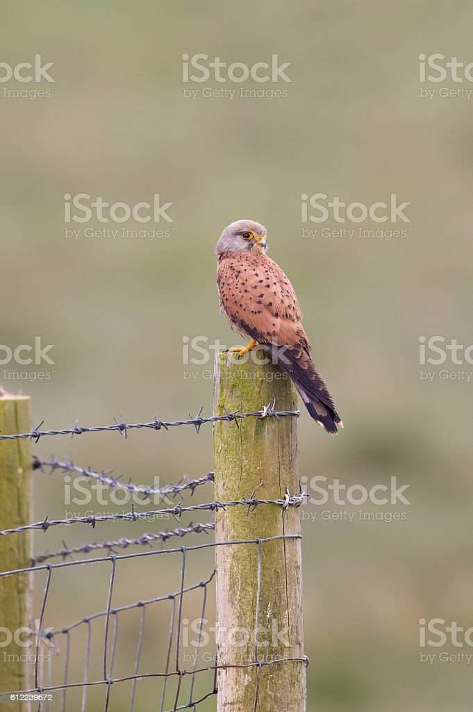 Common Kestrel perched on a fence post stock photo
